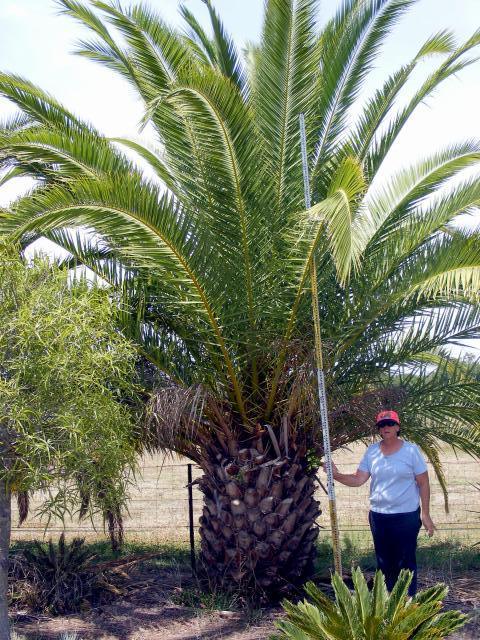 Palms And Other Species Australian Trees Station Creek Tree Farm