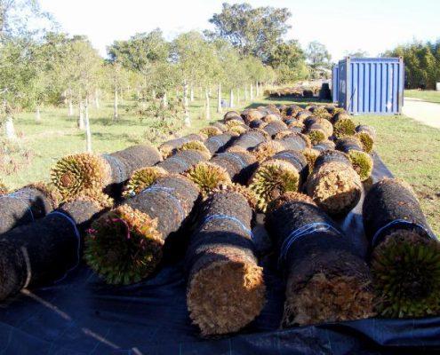 Macrozamia moorei harvesting