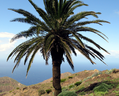 canary island date palm export